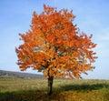 Wild Cherry tree Stock Images