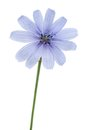 Wild chicory flower on a white background Royalty Free Stock Photo