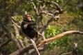 Wild Chimpanzee