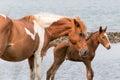 Wild Chincoteague Pony Royalty Free Stock Photo