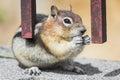 Wild chipmunk feeding Royalty Free Stock Photo