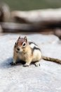 Wild Chipmunk (Tamias Striatus) Royalty Free Stock Photo