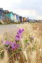 Wild coastal flowers and beach huts Royalty Free Stock Photo