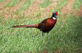 Wild cock pheasant phasianus colchicus a walking in the crops in a field this is a male in the breeding season and Stock Images