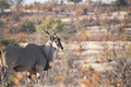 Wild Common Eland (Taurotragus oryx) Standing in Brush in Afric Royalty Free Stock Photo