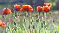 Wild Coquelicot flowers bloom Royalty Free Stock Photo