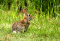 Wild cottontail rabbit portrait of a with a grassy background Royalty Free Stock Images