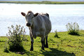 Wild cows grazing and eating grass in the meadow by the Engure lake Royalty Free Stock Photo