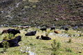 Wild cows grazing in the huascaran national park south america peru Royalty Free Stock Photography