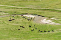 Wild cows herd near a river Stock Images