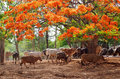 Wild cows in pattaya zoo thailand Stock Photography