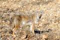 Wild coyote Royalty Free Stock Photo