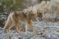 Wild coyote 4 Royalty Free Stock Photography