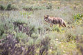 Wild coyote hunting for breakfast in the prairie of the grand teton national park in wyoming Royalty Free Stock Photo