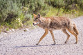 Wild coyote hunting for breakfast in the prairie of the grand teton national park in wyoming Stock Image