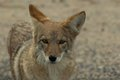 Wild coyote portrait 2 Royalty Free Stock Image