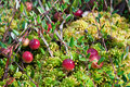 Wild cranberries growing in bog Stock Photo