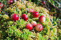 Wild cranberries growing in bog Stock Image