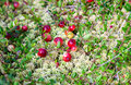 Wild cranberries growing in bog autumn harvesting Stock Photo