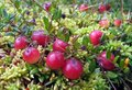 Wild cranberries ripening ecologically clean environment Stock Photography