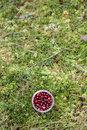 Wild Cranberry Royalty Free Stock Photo