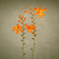 Wild crocosmia flowers Royalty Free Stock Image