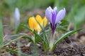 Wild crocus crocus tommasinianus blooming in garden Royalty Free Stock Photography