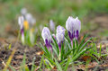 Wild crocus crocus tommasinianus blooming in garden Stock Photography