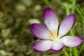 Wild crocus crocus tommasinianus blooming in garden Stock Photo