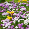 Wild crocus flowers tilt and shift Royalty Free Stock Photo