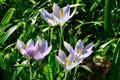 Wild crocuses in spring time purple Royalty Free Stock Photography