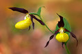 Wild Czech orchid. Lady`s Slipper Orchid, Cypripedium calceolus, flowering European terrestrial wild orchid, nature habitat, detai