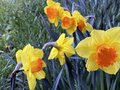 Wild daffodil or Lent lily Narcissus pseudonarcissus, Gelbe Narzisse, Osterglocke oder Ostergloeckchen Royalty Free Stock Photo