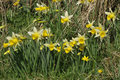 Wild daffodils narcissus pseudonarcissus growing in a field edge with lesser celandine ranunculus ficaria Royalty Free Stock Images