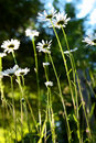 Wild Daisies Royalty Free Stock Images