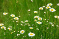 Wild daisies Royalty Free Stock Photos