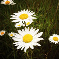 Wild daisies chamomile daisy flowers in field Royalty Free Stock Images