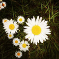 Wild daisies chamomile daisy flowers in field Royalty Free Stock Photography