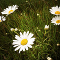 Wild daisies chamomile daisy flowers in field Stock Photos