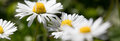 Wild daisies flowers for natural gardening, springtime and sustainable environment
