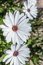 Wild daisies Royalty Free Stock Photo
