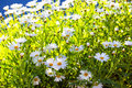 Wild daisies in the sun. Royalty Free Stock Photo