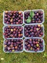 Wild Damson Fruit and Punnets Royalty Free Stock Photo