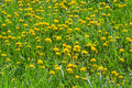 Wild dandelion field at flowering time Royalty Free Stock Photo