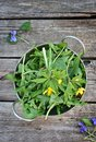 Wild dandelion leaf in to the metallic bowl Stock Image