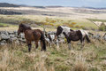 Wild dartmoor pony a newborn with its parents in national park devon uk Stock Photography