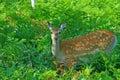 Wild deer in the feild Stock Images