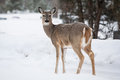 Wild deer a in a park on a cold winter s day in fargo north dakota usa Stock Images
