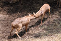Wild deer were fighting to wrest area the Royalty Free Stock Photography