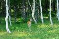Wild deer in the woods Stock Photos